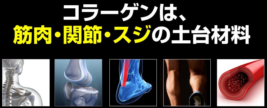 コラーゲンは筋肉・関節・靭帯の土台材料です。
