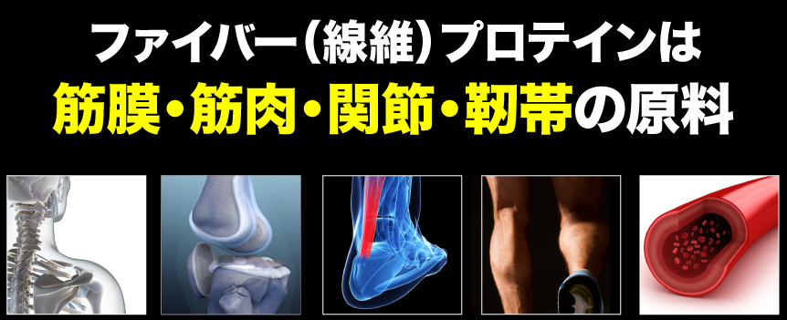 ファイバープロテインは、筋膜・筋肉・関節・靭帯の原料です